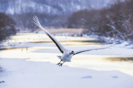 Japanese Red Crowned Crane flying in winter at Otawa Bridge Bird Viewpoint, Kushiro, Hokkaido, Japn