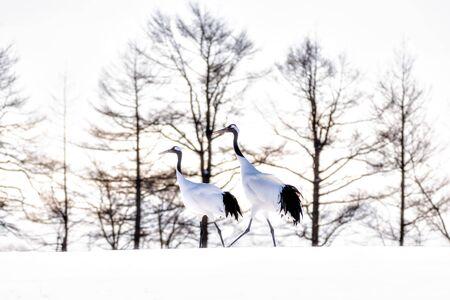 Two Japanese Red Crowned Cranes walking on Snow Hill in Winter at Tsurui Crane Sanctuary , Kushiro, Hokkaido, Japan