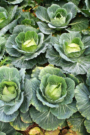 Fresh cabbages in the field