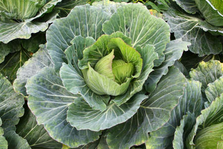 Closeup Fresh cabbages in the field Stock Photo