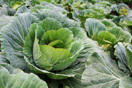 Closeup fresh cabbages Stock Photo