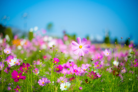 summer flowers: Cosmos Flower field with blue sky Stock Photo