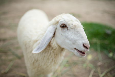 Face of a white lamb looking at you photo
