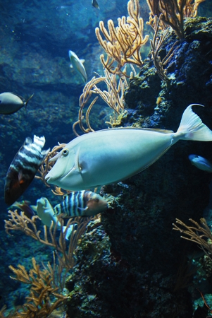unicorn fish: Whitemargin Unicornfish in the aquarium for education
