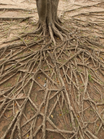 bark rain tree: a tree with visible roots on the ground
