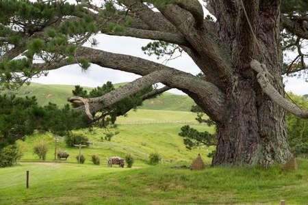 holiday blockbuster: Huge Tree at Hobbiton Movie set, Matamata, North Island, New Zealand Stock Photo