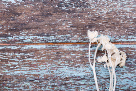 pedicel: Dried creamy flowers on blue wooden background