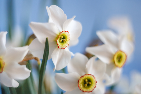 A close up shot of Beautiful White Narcissus bouquet with blue sky background with selective focus
