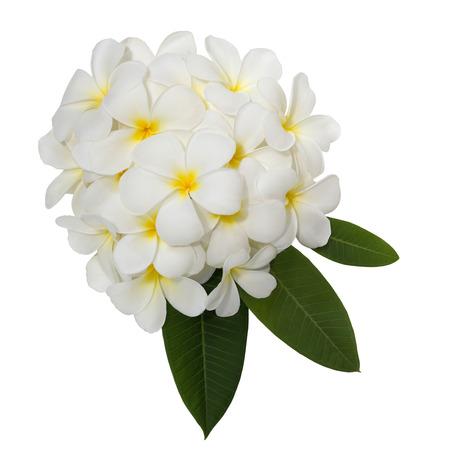plumeria on a white background: White plumeria flower decorated on white background