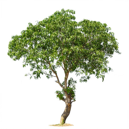 single tree: Isolated tree on white background