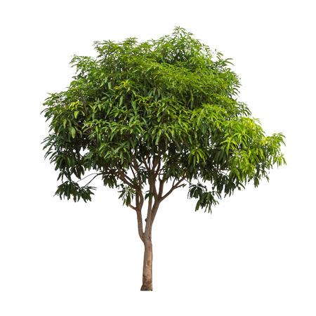 arboles frondosos: Aislado de árboles de mango en el fondo blanco