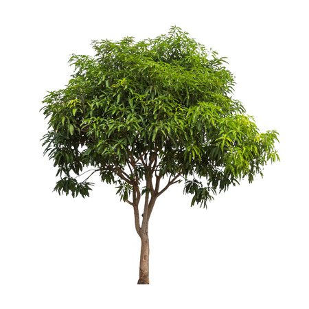 Isolated mango tree on white background