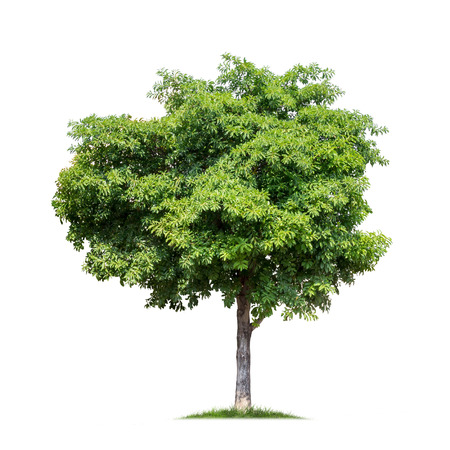 Isolated green tree on white background