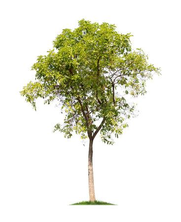 白い背景の上の孤立木