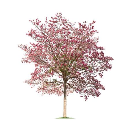 Isolated Tabebuia rosea tree on white background