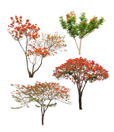 flamboyant: Collection of flame trees with orange and red flowers isolated on white background