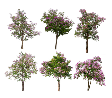 Isolated Lagerstroemia speciosa tree with purple and pink flowers on white background Stock Photo