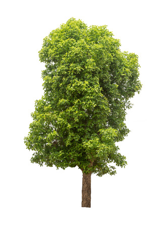 leafy: Isolated big leafy tree on white background Stock Photo