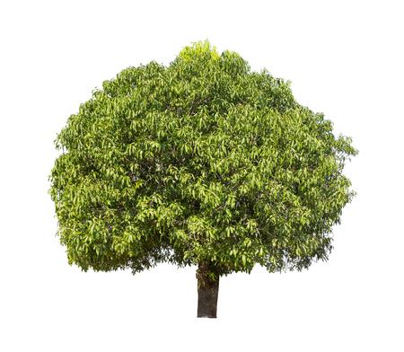 Isolated mango tree with green leaf on white background