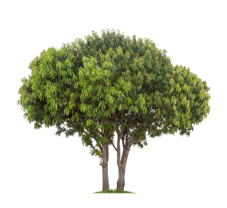 白い背景の上の孤立したマンゴーの木