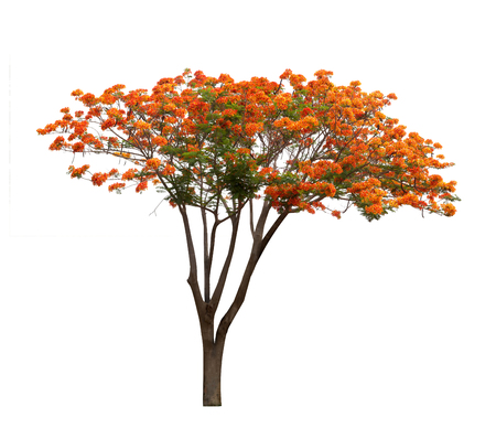 Isolated Flame tree on white background