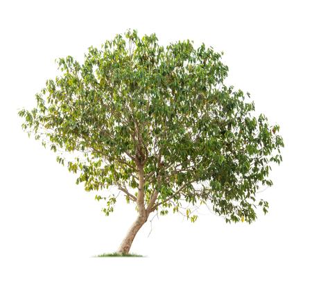 Isolated tree on white background