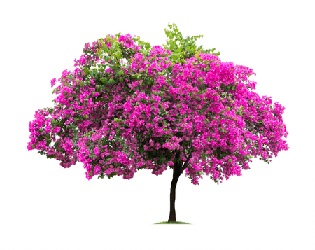 Isolated Bougainvillea on white background Imagens