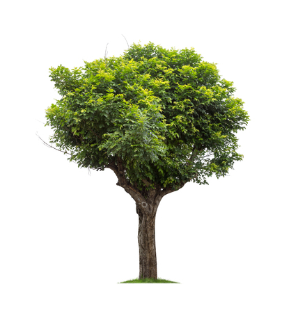 Isolated tree on white background