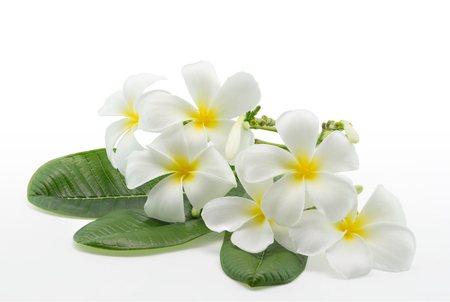 Plumeria flower over green leaves on white background with clipping path