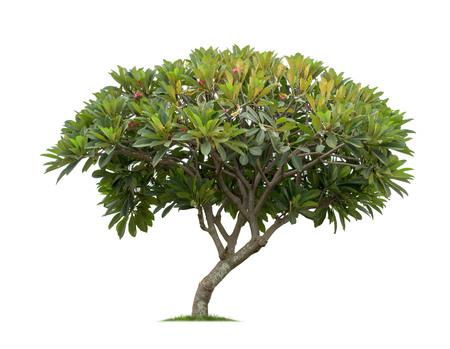 Isolated frangipani or plumeria tree on white background