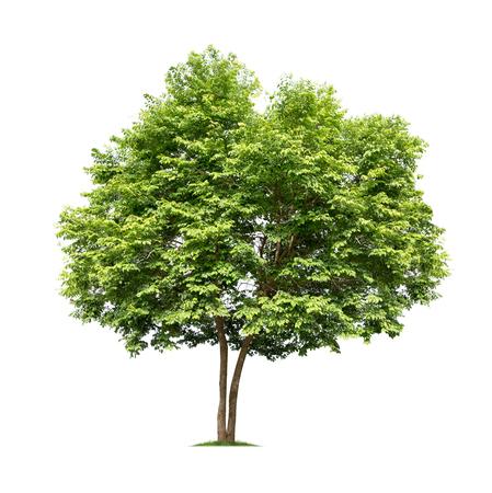 흰색 배경에 고립 된 나무