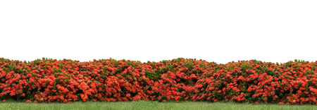 Red Ixora coccinea hedge in a park with clipping path
