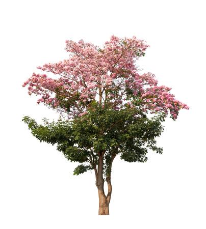 白い背景にピンクの花を持つ孤立したタベブアイアローズアの木
