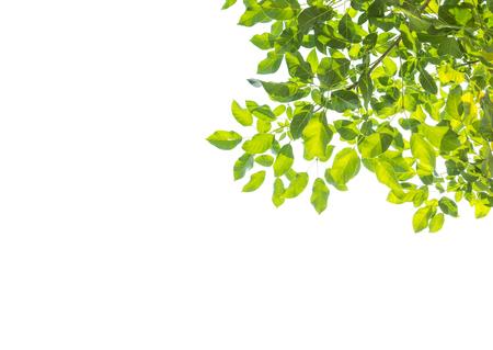 흰색 배경에 고립 된 녹색 나무 잎 스톡 콘텐츠