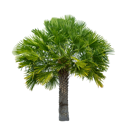 Palm tree isolated on white background high resolution for graphic decoration, suitable for both web and print media