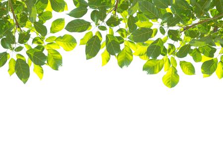 白い背景に孤立した緑の木の葉