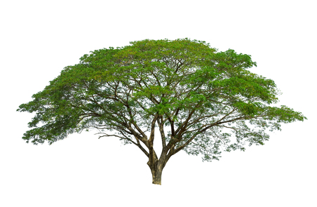 Raintree isolated on white background high resolution for graphic decoration, suitable for both web and print media Imagens