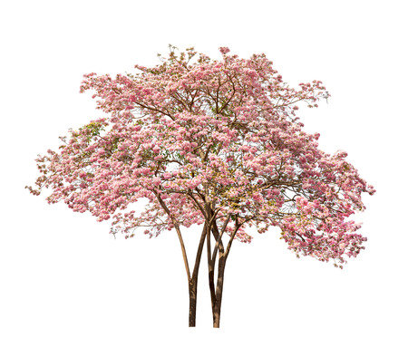 Isolated Tabebuia rosea tree with pink flower on white background