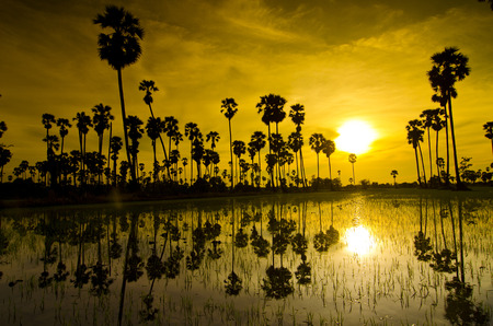 suger: Silhouettes landscape suger palm sunset with water reflect