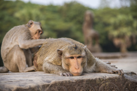 body grooming: Long-tailed Macaque mother and son grooming body Stock Photo