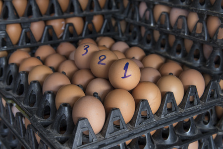 sort out: fresh chicken egg in the plastic package from chicken farm, thailand Stock Photo