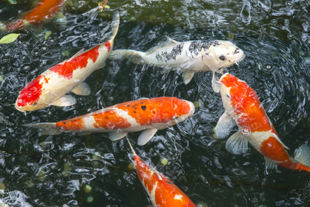 national animal: fish CARP fancy in pond, japanese National animal Stock Photo