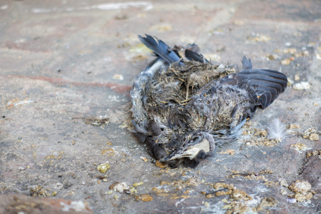 carrion: Outbreak of bird - Carrion Dove - Death dove died