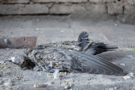 h5n1: Outbreak of bird - Carrion Dove - Death dove died