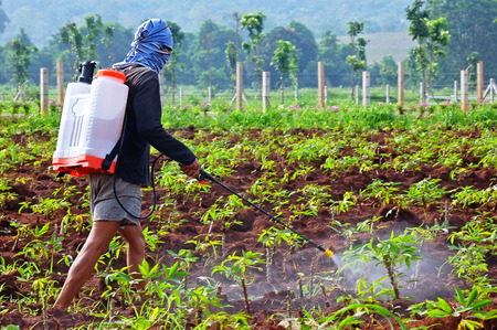unprotected: farmer spraying pesticide in the cassava field, in the morning