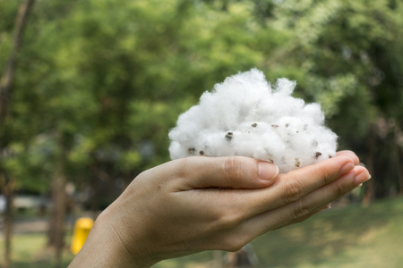 raw cotton: natural product, raw cotton flowers on womans hands on green yard outdoor background