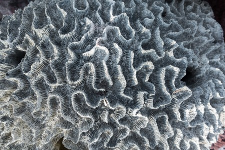 stony coral: Coral bleaching, Bleached stony coral in the tropical reef lost due to high sea surface temperatures. Stock Photo