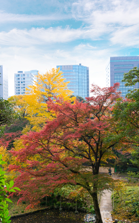 the beautiful autumn color of Japan maple leaves discoloration in Koishikawa Korakuen graden and cityscape background. tokyo, Japan