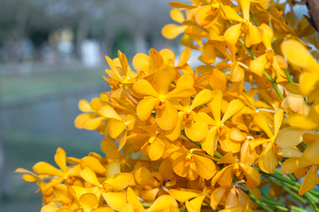 yellow orchid in outdoor background