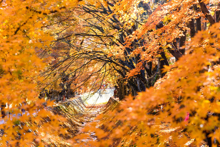 the beautiful autumn color of Japan maple  leaves in Maple corridor (Momiji Kairo) at autumn season,Kawaguchiko, Fujiyoshida, Yamanashi, Japan Stock Photo